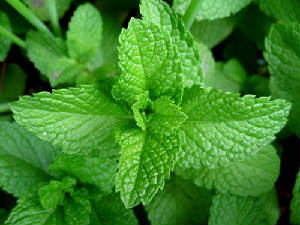 Mint Tea Leaves